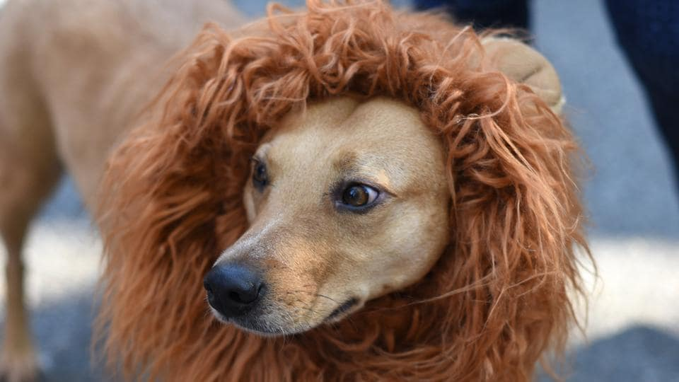 A case of mistaken identity? Doggo seems to be channelling his inner lion but doesn't look entirely convinced. (Timothy A. Clary / AFP)