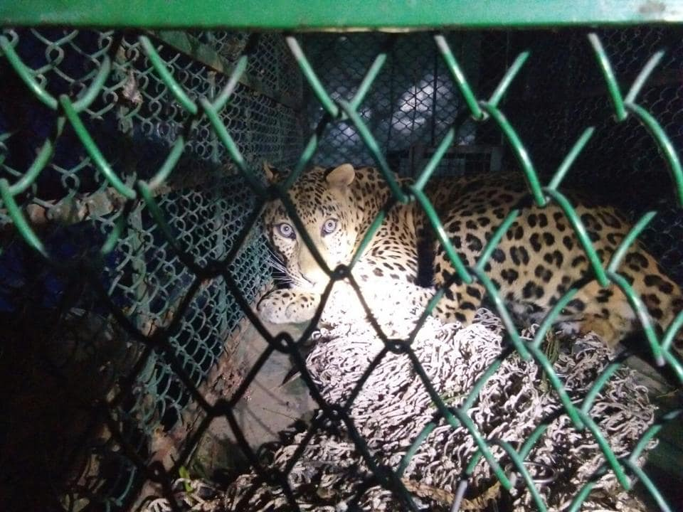 The leopard was spotted prowling a farm land by some villagers on Monday evening while they were on their way back from a nearby forest.