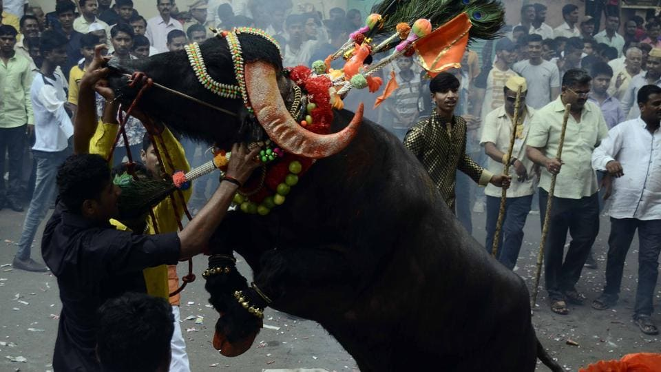 A milkman tries to tame a decorated buffalo at Ganesh peth during 'Sagar', an annual traditional celebration of the Gawli community held on the occasion of Bhai Bheej, on October 21. (Ravindra Joshi/HT PHOTO)