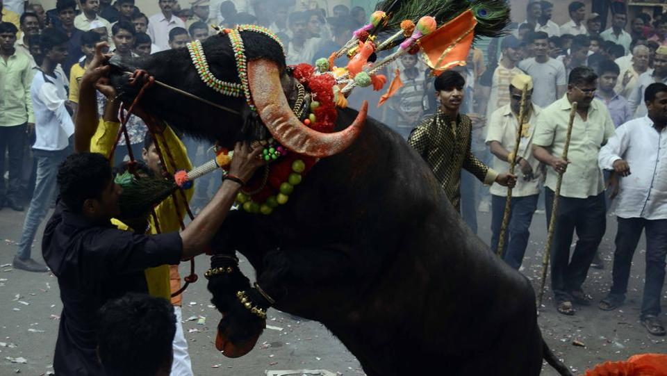 A milkman with one of his colleagues help  tries to tame a decorated buffalo at Ganesh peth during 'Sagar', an annual traditional celebration of the Gawli community held on the occasion of Bhai Bheej, on October 21. (Ravindra Joshi/HT PHOTO)