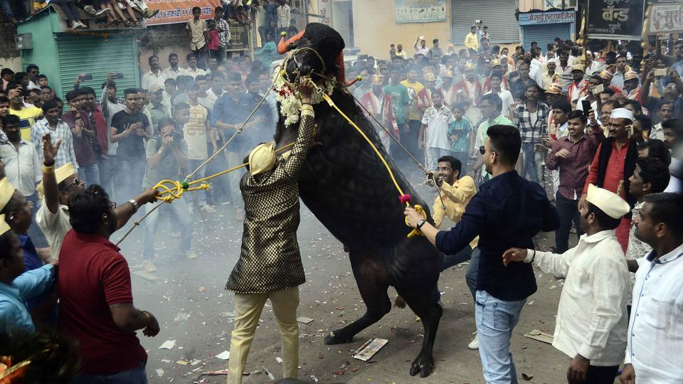 A group of man belonging to milkman community tries to tame a decorated buffalo at Ganesh peth during 'Sagar', an annual traditional celebration of the Gawli community held on the occasion of Bhai Bheej, on October 21. (Ravindra Joshi/HT PHOTO)