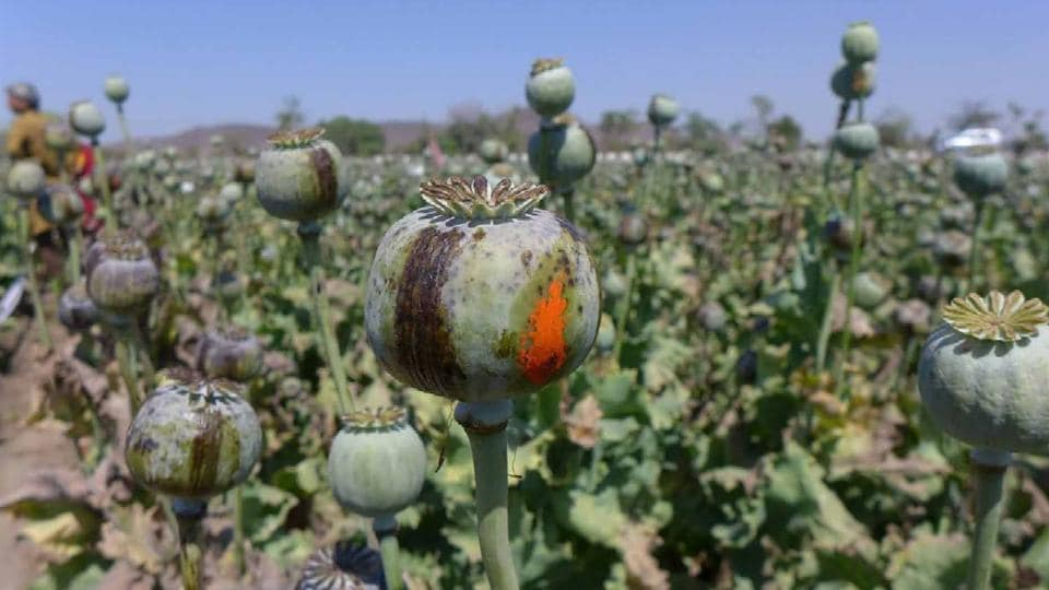 Growers had to deliver an MQY of 49 kg of opium per hectare till May 2017, to be eligible for seeking licences in October this year. The new policy states that farmers who cultivated the crop in 2016-17 and tendered an average yield of not less than 5.9 kg of morphine content per hectare in April this year will be eligible to get an opium licence in 2017-18.