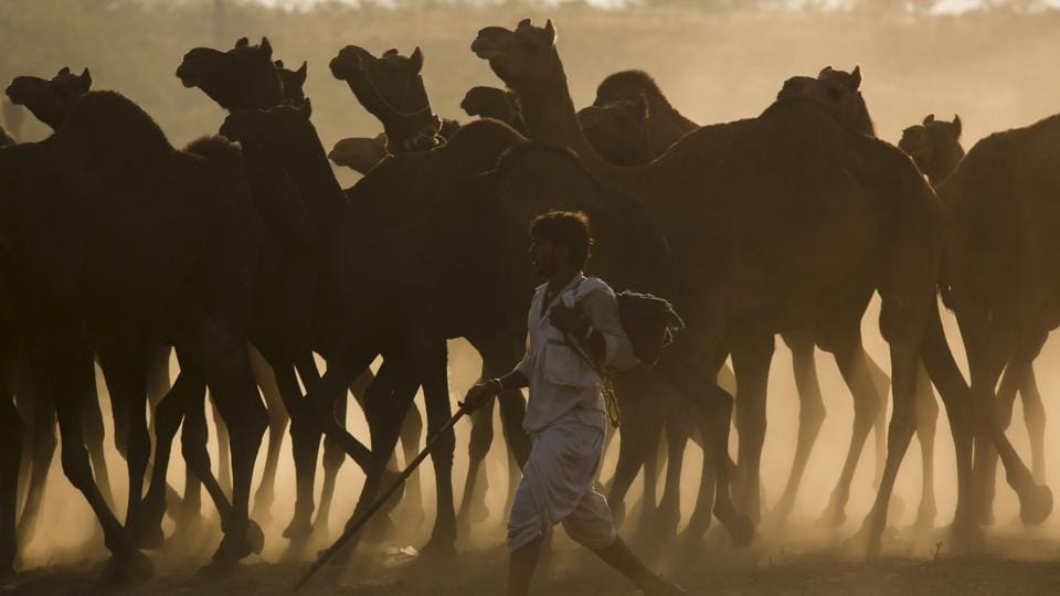 An Indian camel trader arrives with his herd for the annual cattle fair in Pushkar, Rajasthan. Pushkar Mela is organised by Rajasthan Tourism and the district administration every year, for celebrating the decades-old traditions and treasures of the state.  (Deepak Sharma / AP)