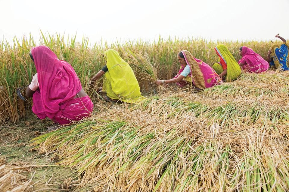 Women farmers at a village in Uttar Pradesh's  Maharajganj district. They receive no support or incentives whatsoever, yet battle on against all odds.