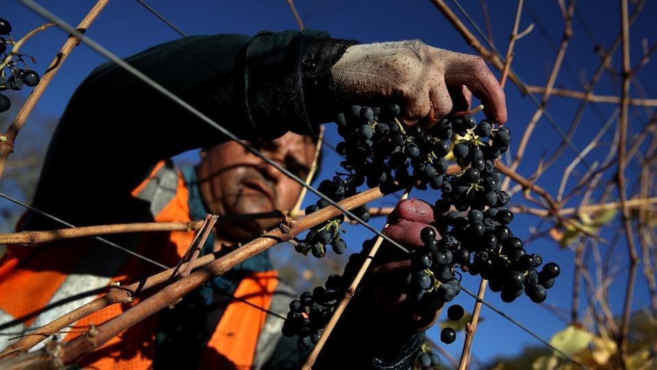 But many fear the smoke and heat might have compromised this year's vintage wine supply and quality, as the potential damage to the grapes could take months or even years to surface. (Justin Sullivan / Getty Images / AFP)