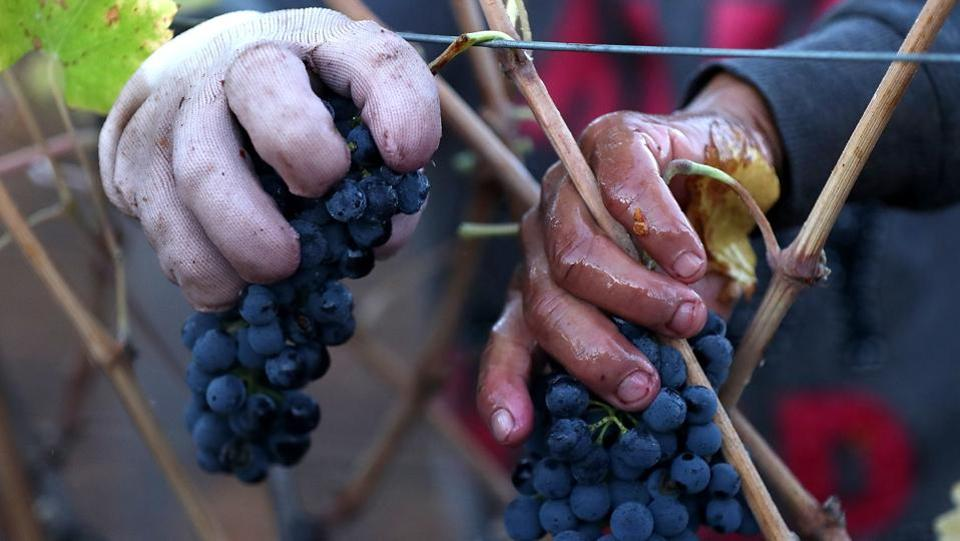 A field worker picks Syrah grapes during a harvest operation in Kenwood, California. Besides wine, the vineyard industry is dependent on tourism with October and November being the peak season. The recent fires have sent a wave of concern among those involved in the winery business. (Justin Sullivan / Getty Images / AFP)