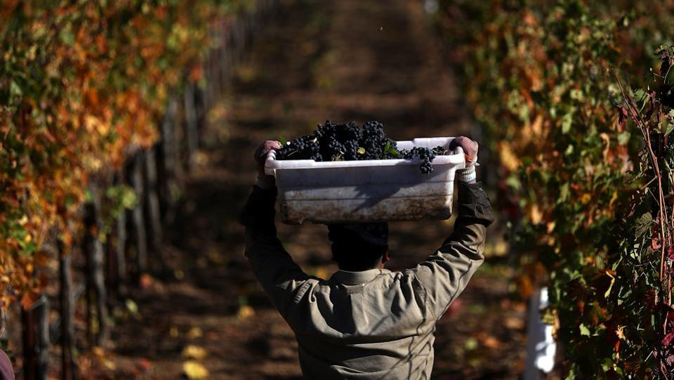 The Napa region is known to have more than 1,200 wineries, and fewer than 10 were heavily damaged. Most tasting rooms have reopened and vintners expect the 2017 vintage to be excellent as 90 percent of this year's grapes were harvested before the fires struck. (Justin Sullivan / Getty Images / AFP)