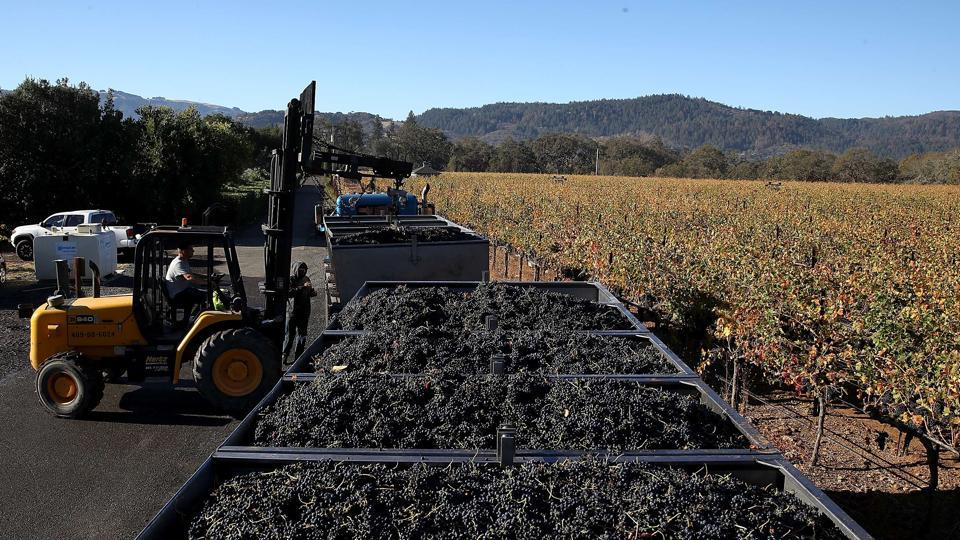 Consumers are worried about the taste of 2017 vintage wine as the smoke might have tainted the grapes, killing its flavour. The issue is complicated by the fact that the interaction with smoke can cause chemical compounds to form within the grapes which may be undetectable by taste or smell, initially. (Justin Sullivan / Getty Images / AFP)