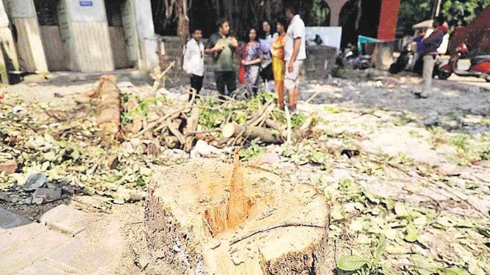 The bark of the 100-year-old banyan tree was all that residents of the area were left to contemplate on Sunday morning after the PMC cut down the tree some time before 4pm.