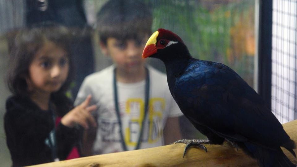 Children watch Violet Turaco, the turacos make up the bird family Musophagidae, which includes plantain-eaters and go-away-birds. In southern Africa both turacos and go-away-birds are commonly known as loeries seen  at 'World of Wings', an exhibition of unique birds at Ganesh Kala Krida hall in Pune. (Pratham Gokhale/HT Photo)