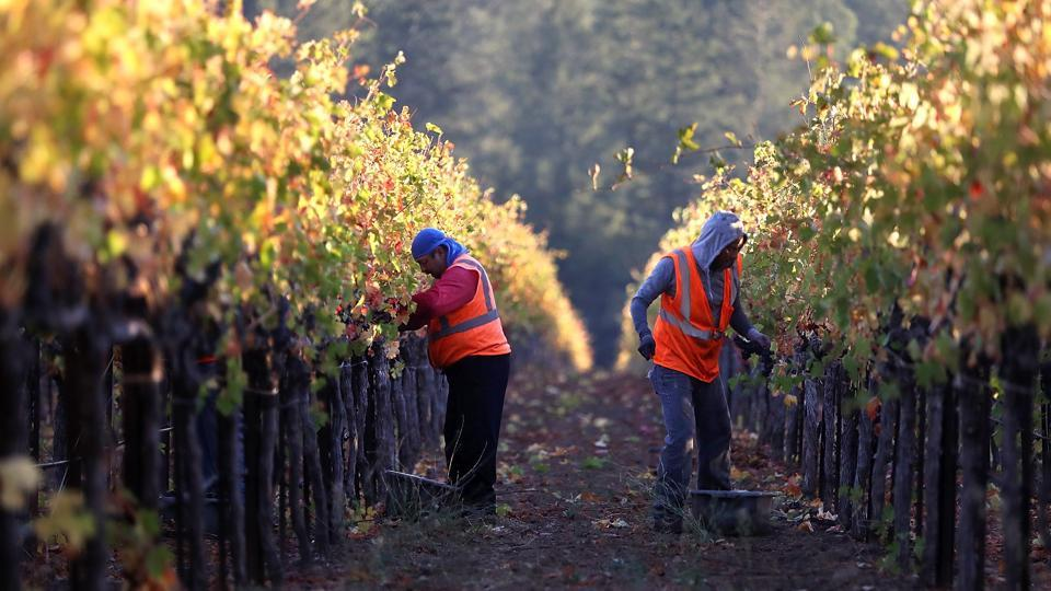 Field workers with Palo Alto Vineyard Management pick Syrah grapes during a harvest operation  in Kenwood, California. Over two weeks after deadly wildfires ripped through Sonoma and Napa counties, most of the workers and owners feared destruction of the vineyards which is a major source of employment and livelihood in the wine country. But as the smoke cleared, those depending on the wine production for their bread were relieved to discover that the devastating fire had largely relinquished the vineyards. (Justin Sullivan / AFP)