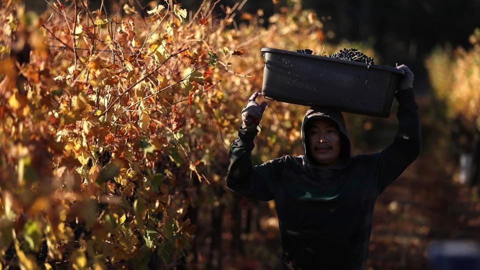 A field worker with Palo Alto Vineyard Management carries a bucket of freshly picked Syrah grapes during a harvest operation. Throughout the Napa and Sonama counties, the fires have left a scorched, blackened field but spared the vineyards. (Justin Sullivan / Getty Images / AFP)
