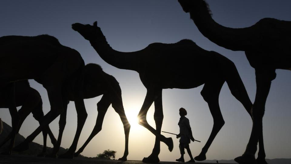 A  camel owner is seen walking with his livestock during sunset at the Pushkar Camel Fair in Rajasthan. (Dominique Faget / AFP)