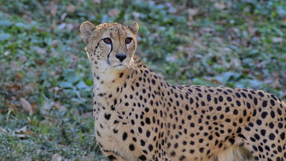 Iran,Asiatic Cheetah,Cheetah