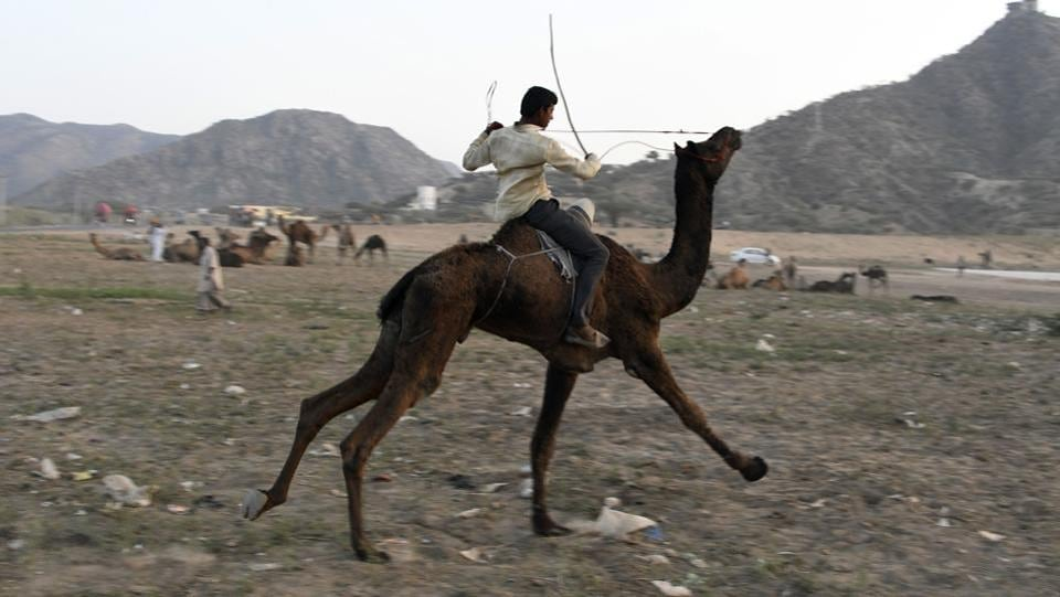 A man rides on the back of his camel during the  Pushkar Camel Fair in Pushkar, Rajasthan.  (Dominique Faget / AFP)