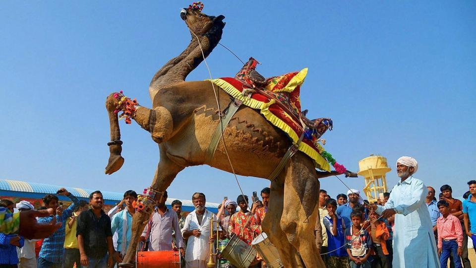 A camel entertains tourists at the International Camel Fair in Pushkar, Rajasthan. The fair is known for its colourful cultural theme, including various competitions such as 'tug of war', 'longest moustache competition', and camel races among many others. (PTI)