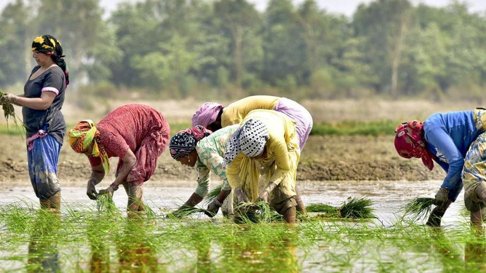 Owing to the favourable temperature, the border districts of Punjab, Amritsar, Gurdaspur and Tarn Taran are known for the cultivation of the pure basmati paddy.