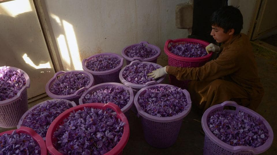 A boy sorts out saffron flowers that were picked on the outskirt of Herat before they are processed for saffron. There slow adoption of saffron is caused by two factors. First, the plant requires large capital investment, bringing significant returns only after two years of planting. For poor farmers, without substantial savings, planting saffron remains out of reach. (Hoshang Hashimi / AFP)