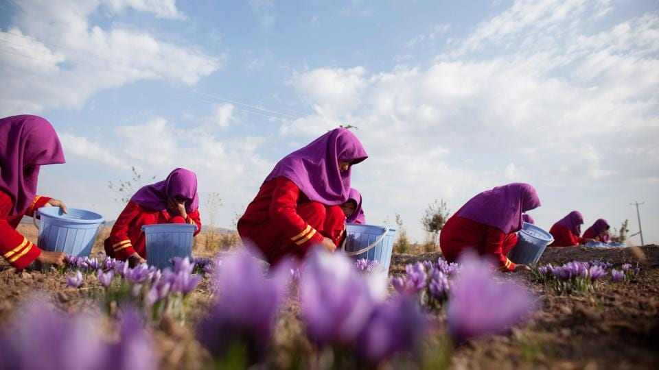 Workers pluck saffron flowers on a farm in Herat. In western Herat, which borders Iran, the challenge is seen to be able to convince farmers of the long term benefits of replacing poppies with the purple crocus plants whose highly prized stigmas produce the spice used for seasoning and colouring agent in cooking. (Majid Saeedi / Getty Images)