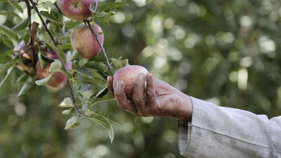 Khivraj Singh Bisht, a farmer in the Mukteshwar area of Nainital district said that apple cultivation in the area is slowly coming down as most of the orchard lands have been used for construction of villas.