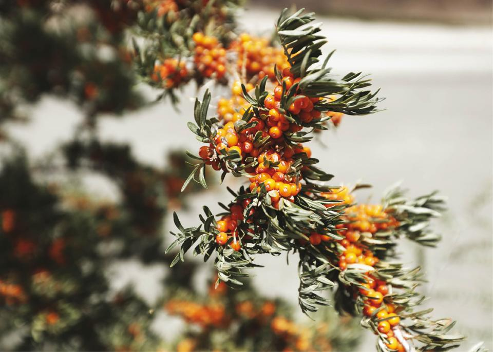 Sea buckthorn berries, also known as Leh berries, are mainly found in Chushot, Shey and Nubra Valley of Leh
