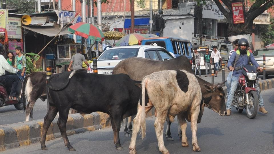 Rajasthan News,stray cattle,high court
