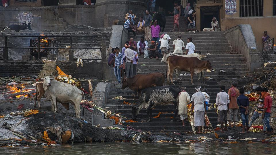 People perform a cremation next to cows on banks of the river Ganges in Varanasi. (Noemi Cassanelli / AFP)