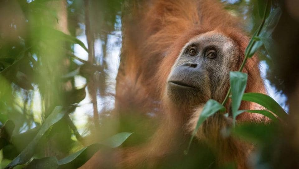 The Pongo tapanuliensis has been identified as a new species of orangutan. It has been found on the Indonesian island of Sumatra.