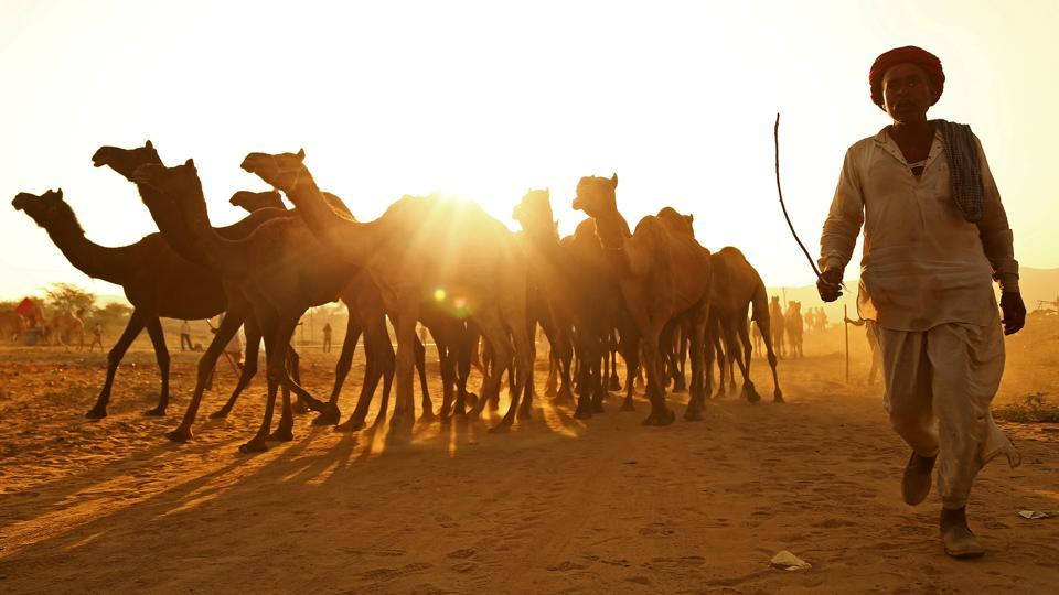A trader arrives with his camels at  the annual Pushkar Fair where livestock, primarily camels, are brought to be sold and traded in the state of Rajasthan. (Himanshu Sharma / REUTERS)