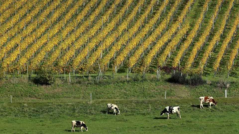 Cows graze on a pasture in front of a vineyard during sunny autumn weather near Altikon, Switzerland. (Arnd Wiegmann / REUTERS)