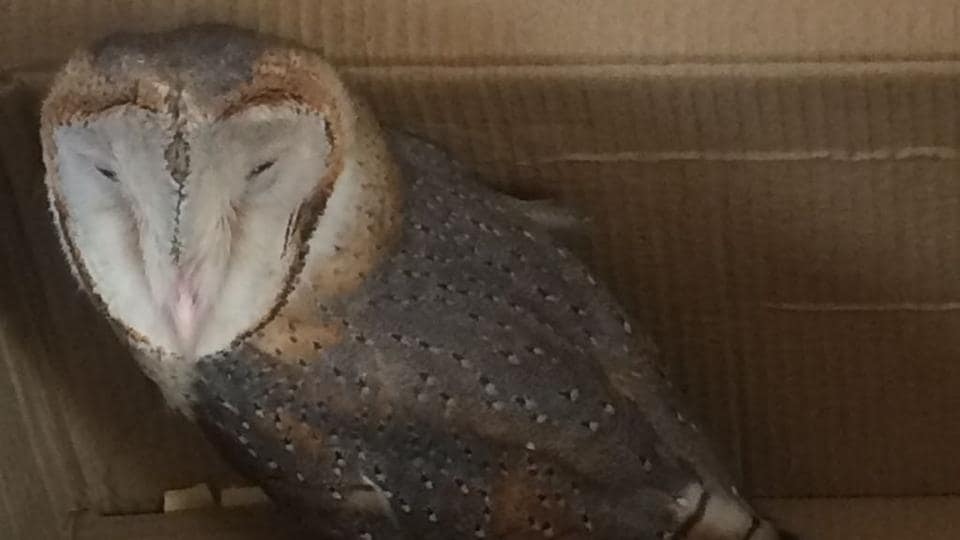 The one-year-old owl was taken to Sultanpur National Park for treatment and is currently under observation.