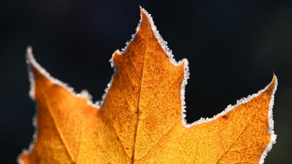 On Halloween, ice crystals dot the edges of a maple leaf in Freiburg,  Germany. (Patrick Seeger / AFP)