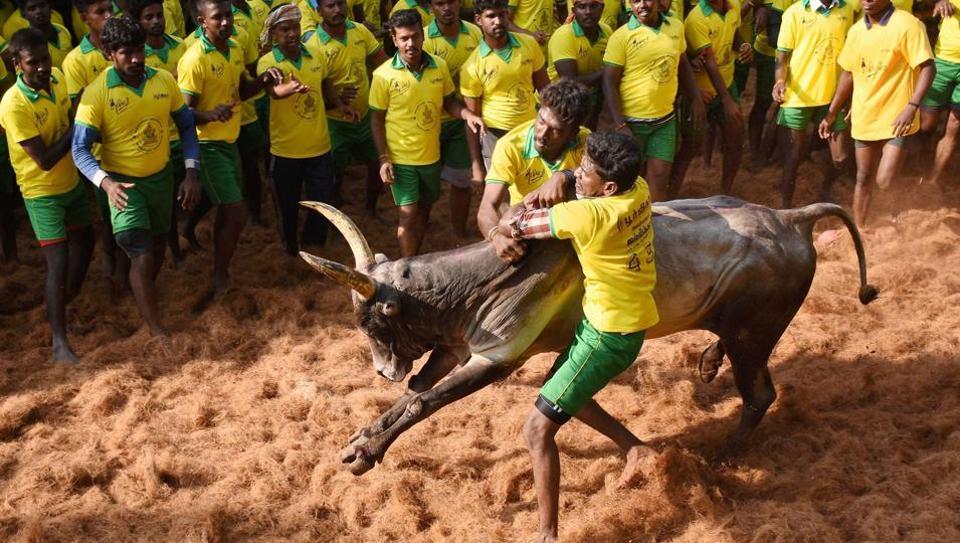 The bull tamers are taming the bulls during the Jallikattu that was organised at Avaniyapuram in Madurai.