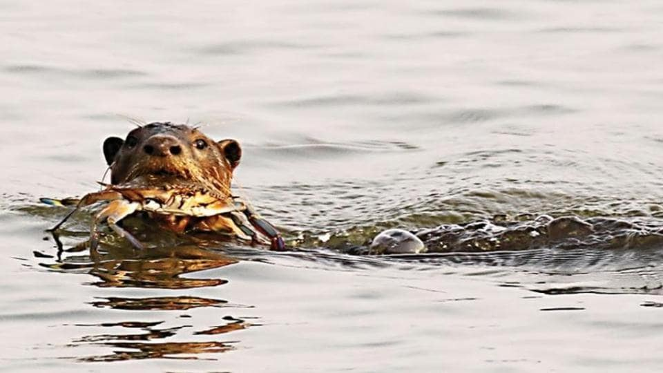 The census found between 437 and 591 otters across 12 creeks in Maharashtra's Sindhudurg district.