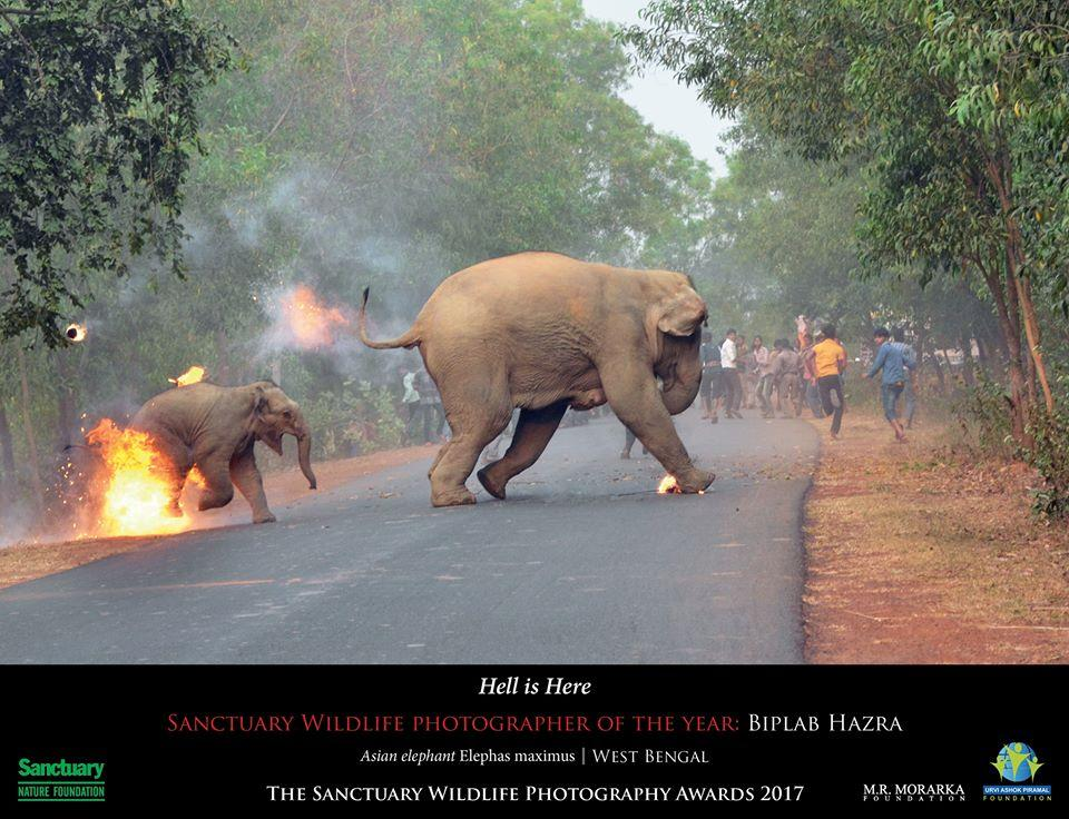 The photograph shows the two elephants escaping flaming tar balls and crackers that were hurled at them.