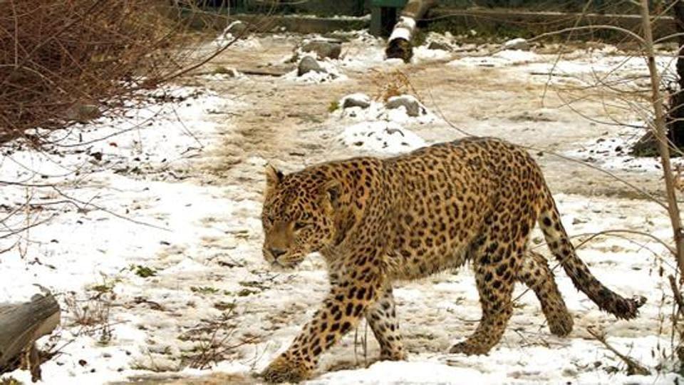 Uttarakhand News,leopard,poachers