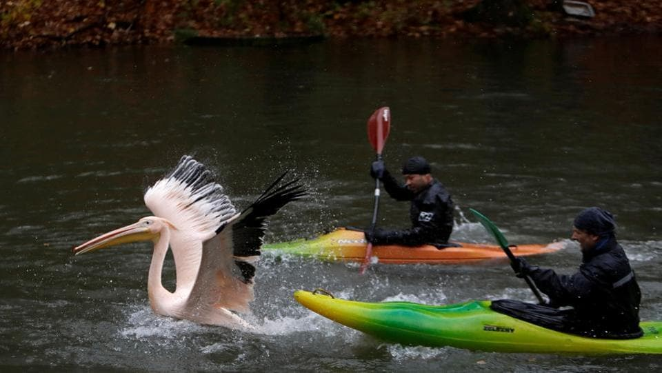 Zoo keepers try to keep up with a pelican in order to move it to its winter enclosure at Liberec Zoo in Liberec, Czech Republic on November 6, 2017. (David W Cerny / REUTERS)
