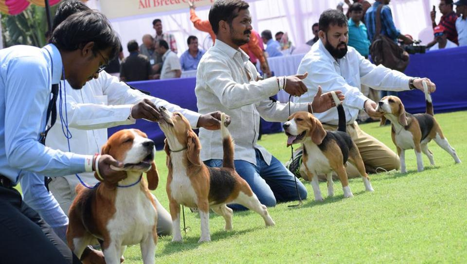 Beagle is a breed of small hound that is similar in appearance to the much larger foxhound. It is a scent hound, developed primarily for hunting hare is seen on behalf of Puna Kenal Confederation, 108th and 109th International All Breed Champion Dog Show organised at Chinchwad. The show was presented at Aher Garden at Walhekarwadi Road. This year, German Shepherd, Bulldog, Haski, Brost Hound, Beagle, 270 dogs of 30 to 35 breeds participated in the show this time in Pune. (HT PHOTO)