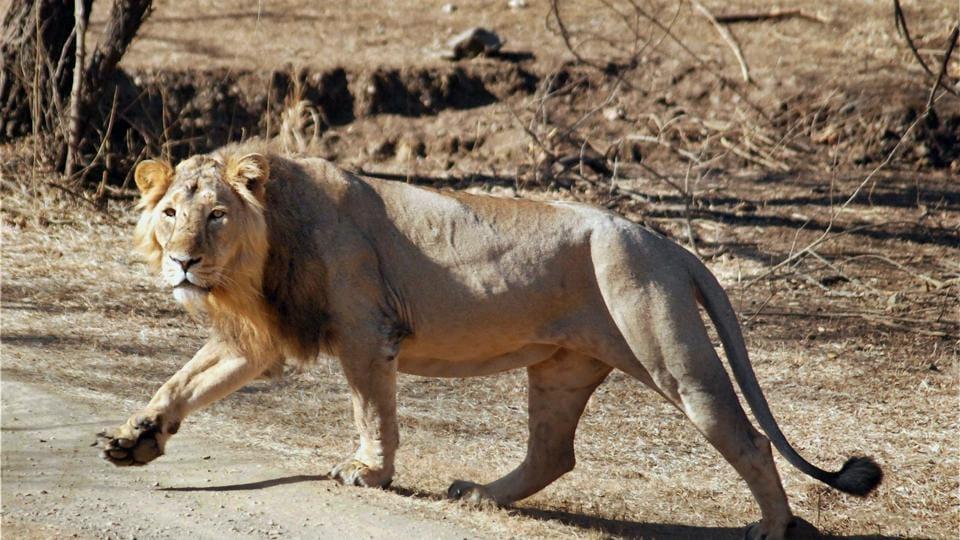 An Asiatic lion at Gir Wildlife Sanctuary in Junagadh district of Gujarat.