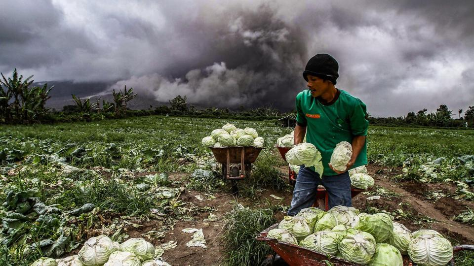 An Indonesian farmer harvests cabbages during an eruption of the Mount Sinabung volcano in Karo, North Sumatra on November 4, 2017. Sinabung roared back to life in 2010 for the first time in 400 years. After another period of inactivity it erupted once more in 2013, and has remained highly active since. (Ivan Damanik / AFP)