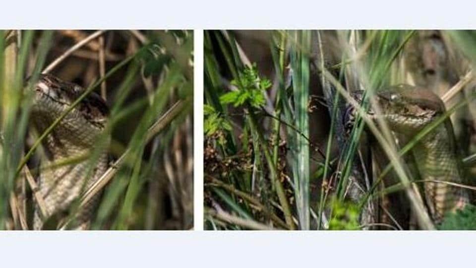 Python in the bushes at Bird Walk, Sukhna lake.