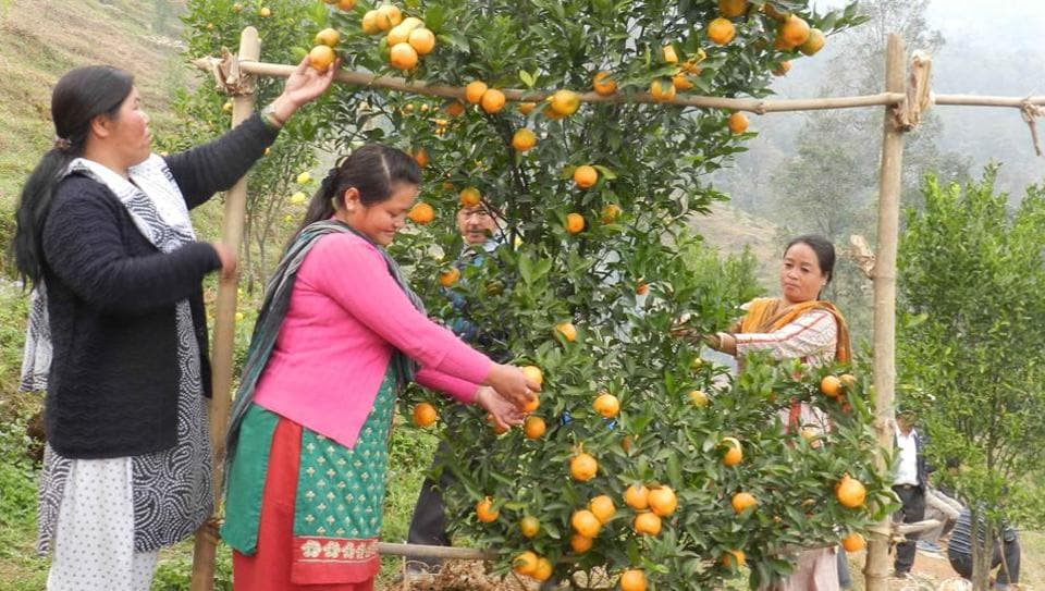 Darjeeling oranges are famous for their thin peel and sweetness.