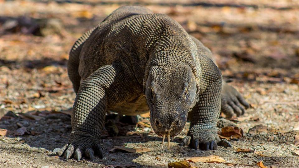 The Komodo dragon's bites are toxic.