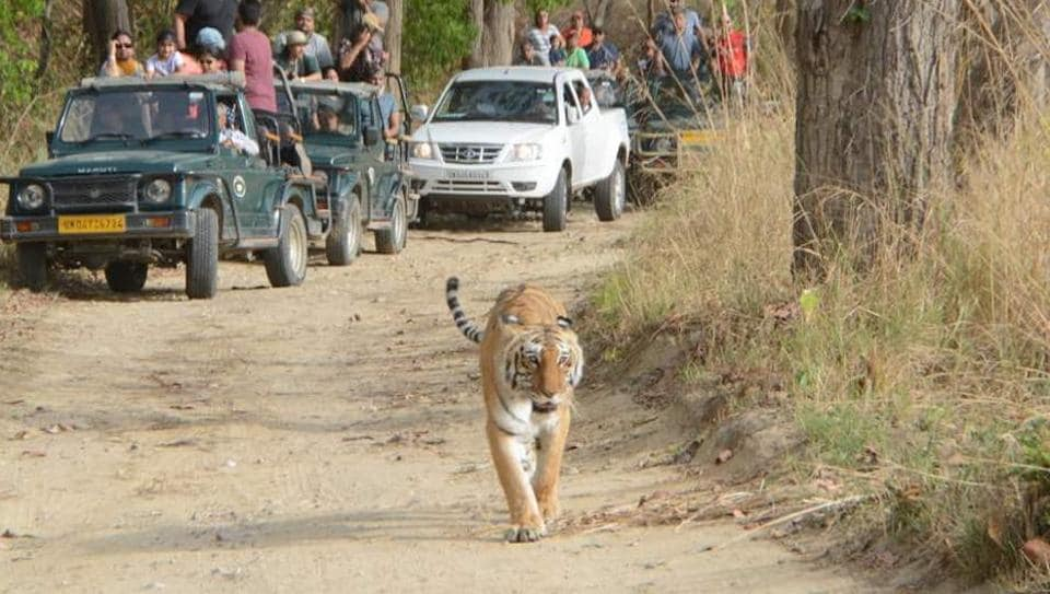 The forest officials says they are mulling to put a cage to catch the big cat.