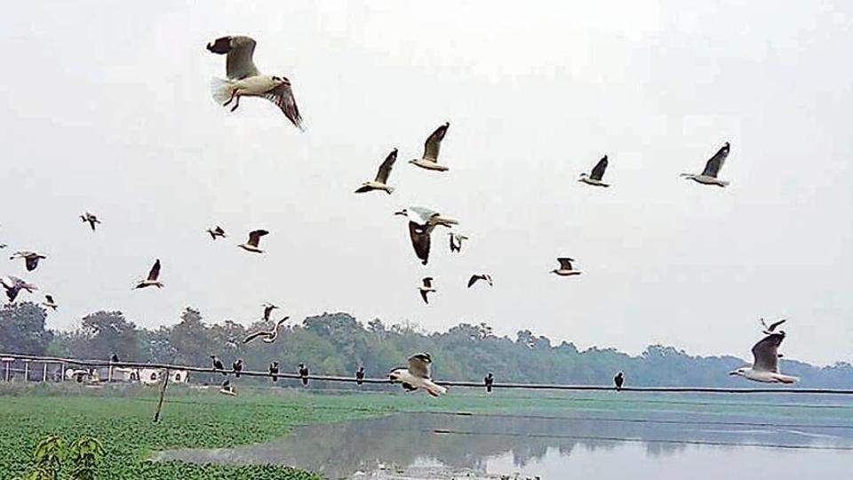 Migratory birds at Harike Lake on Saturday.