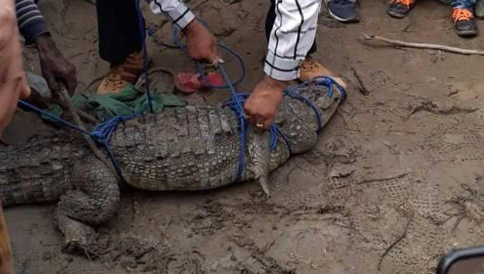 A man restrains the crocodile using rope after it was found inside a farmer's house.