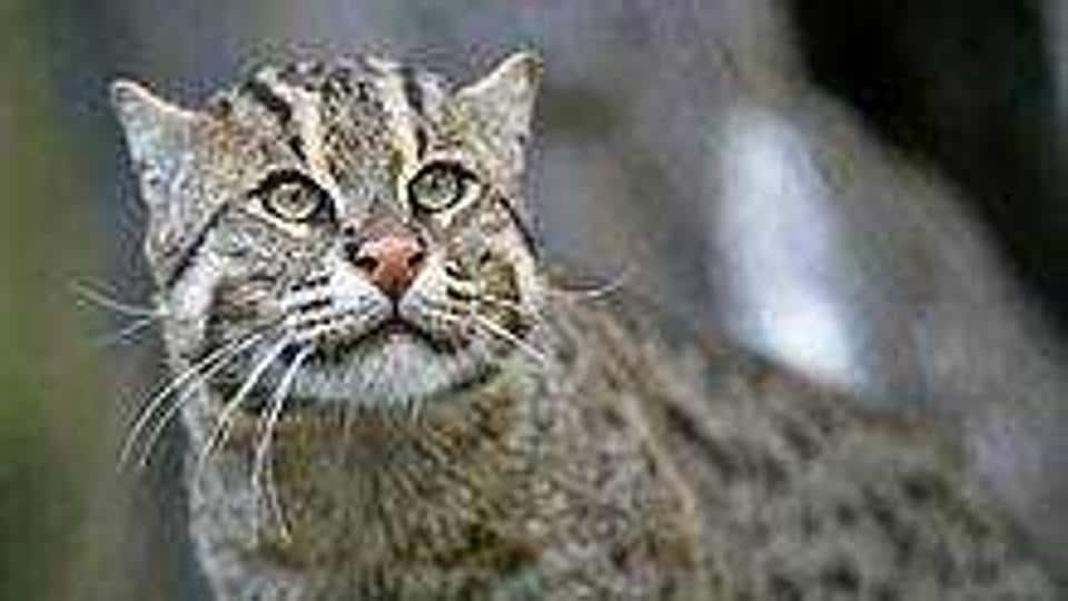 West Bengal,Fishing Cat,Biodiversity