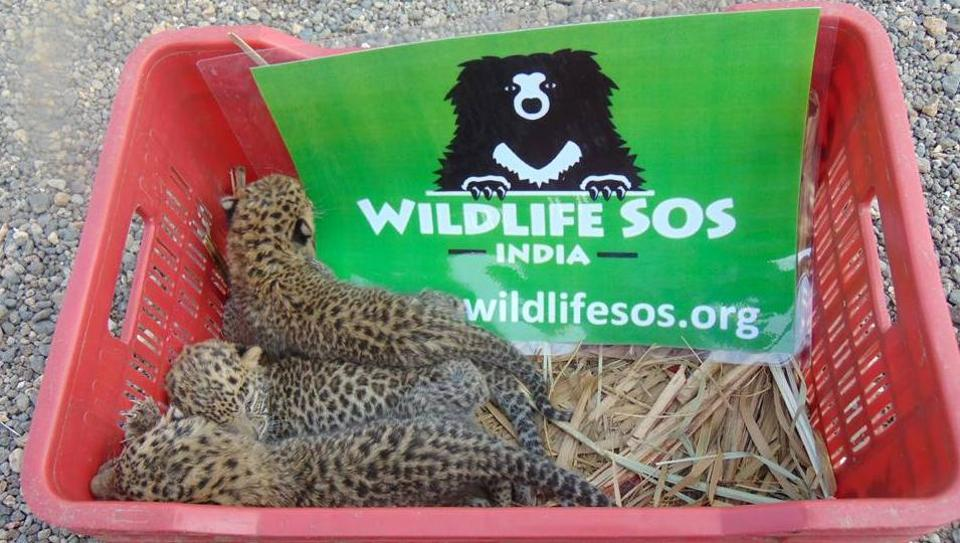 leopard cubs,leopard,Wildlife SOS