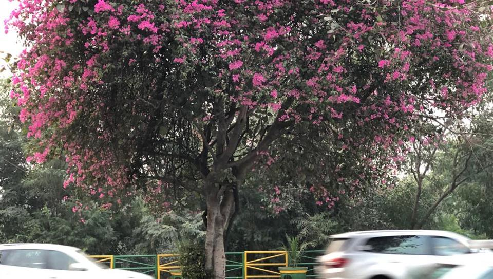 The lush bougainvillea on a road divider near Moti Bagh flyover.
