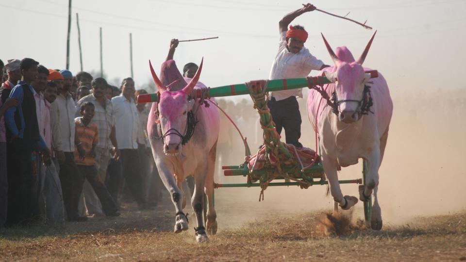 Karnataka,Kambala,Bull Race